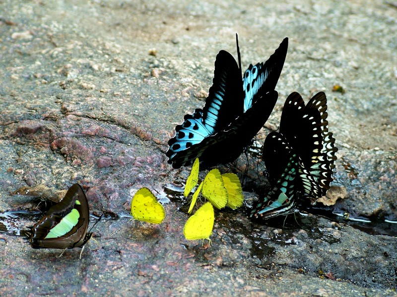 Mud-puddling butterflies by Joseph Lazer
