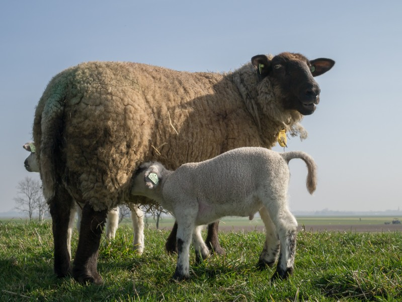 Newborn sheep on Dutch sea dike