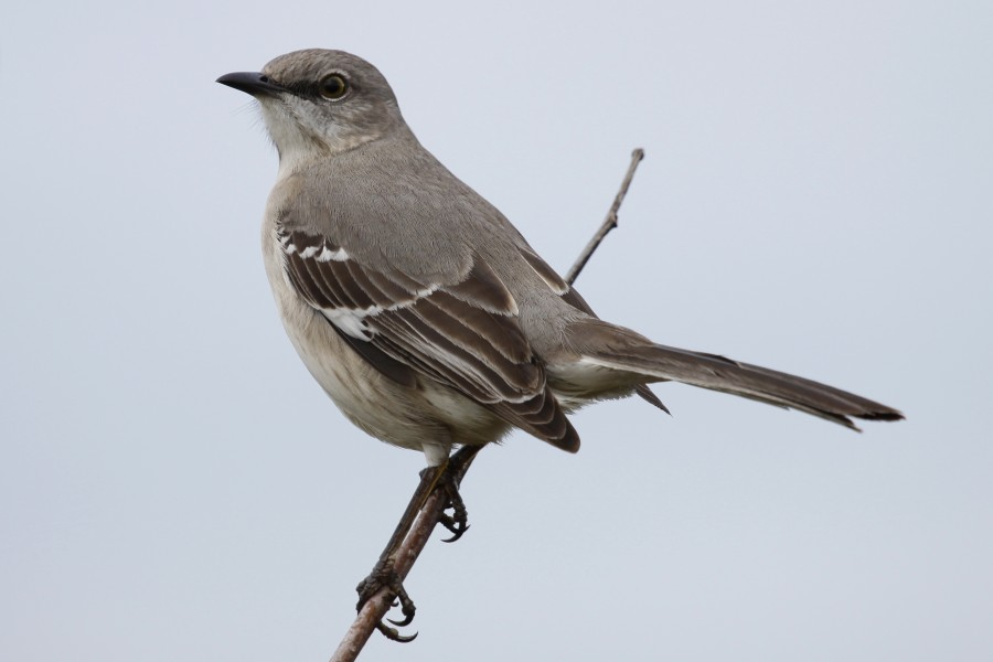 Northern Mockingbird - Mimus polyglottos, Everglades National Park, Shark Valley, Florida