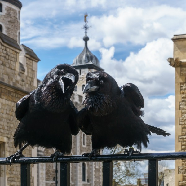 Odin and Thor, Ravens, Tower of London 2016-04-30a