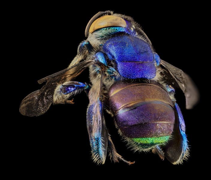 Orchid bee green butt, m, back, guyana 2014-06-17-18.25.47 ZS PMax (14263898420)