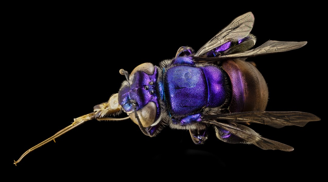 Orchid bee purple, m, guiana, 5 2014-11-04-12.22.55 ZS PMax (15174630153)