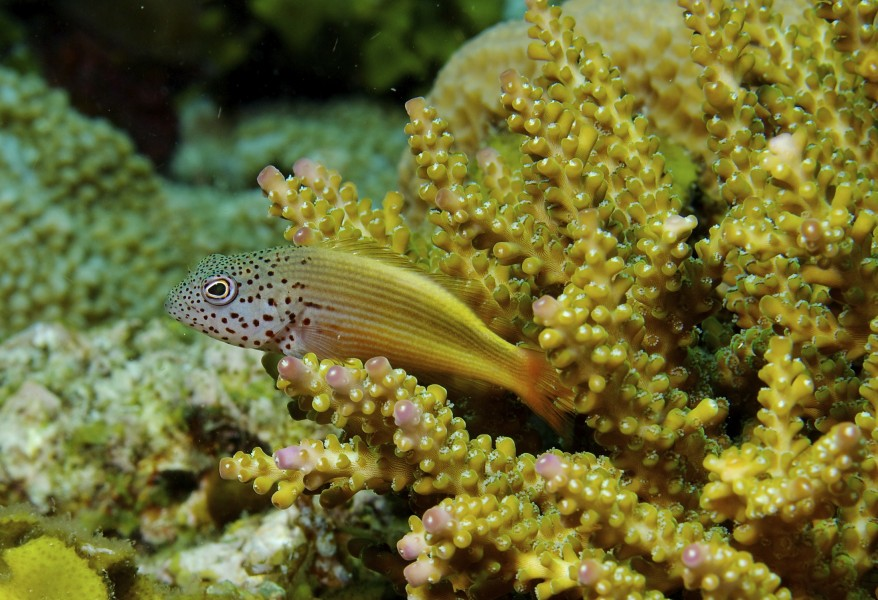 Paracirrhites forsteri Forsters Hawkfish juvenile PNG by Nick Hobgood