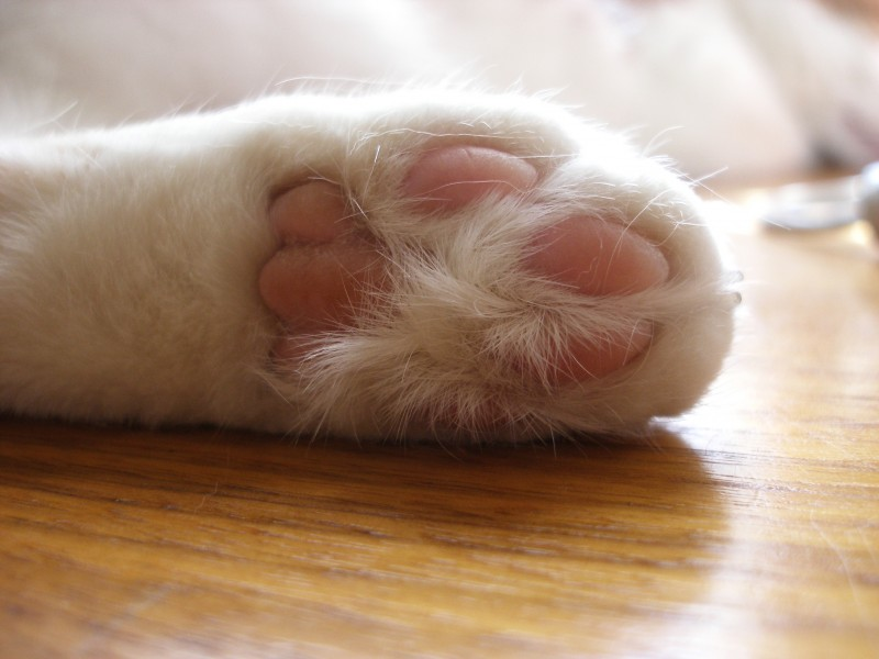 Paw of a white cat