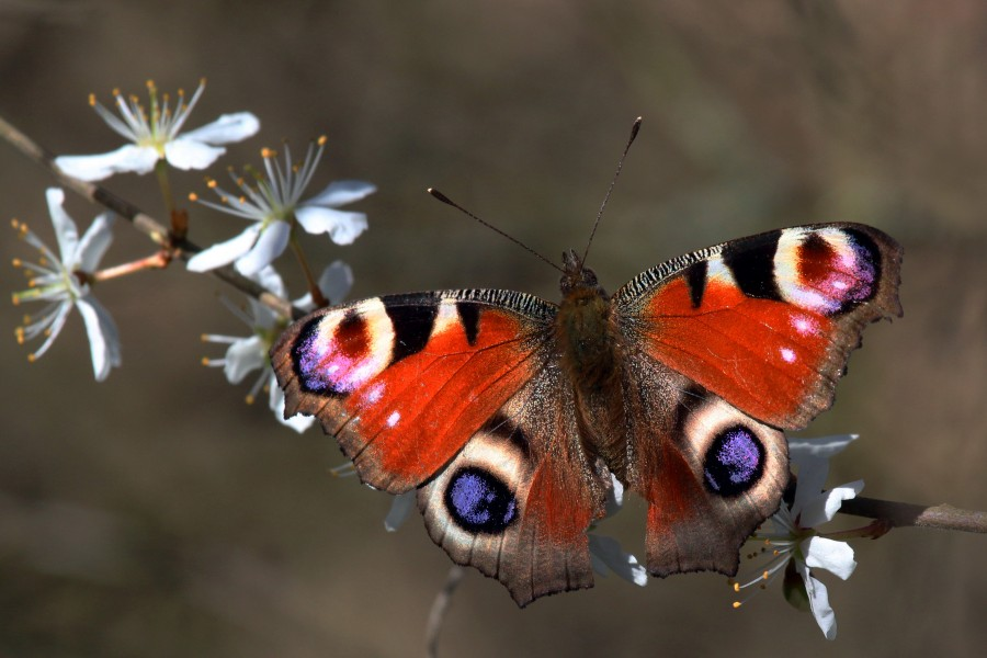 Peacock butterfly (inachis io) 2