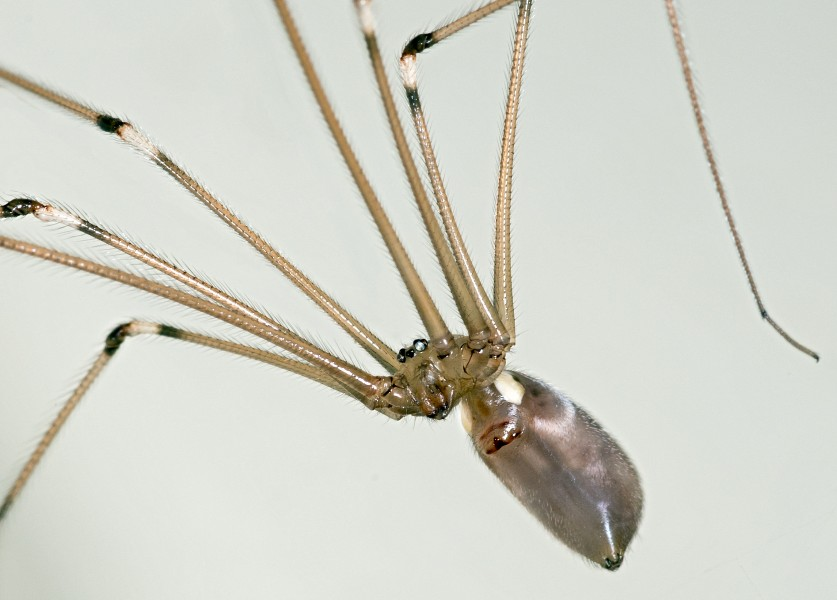 Pholcus phalangioides MHNT Ventral side