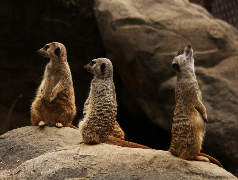 Photograph of a Meerkat Family (3848828176)