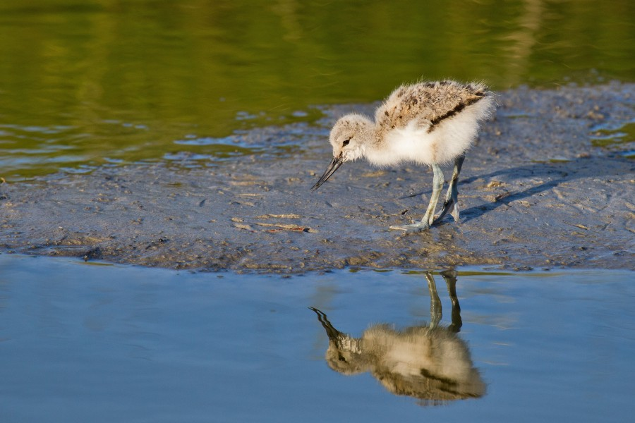Pied Avocet chick