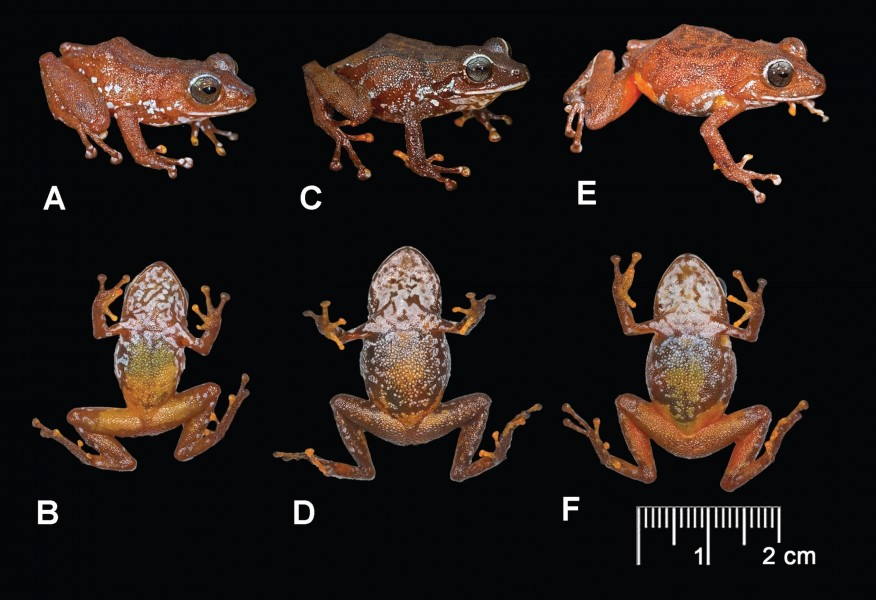 Pristimantis jamescameroni colour pattern variation