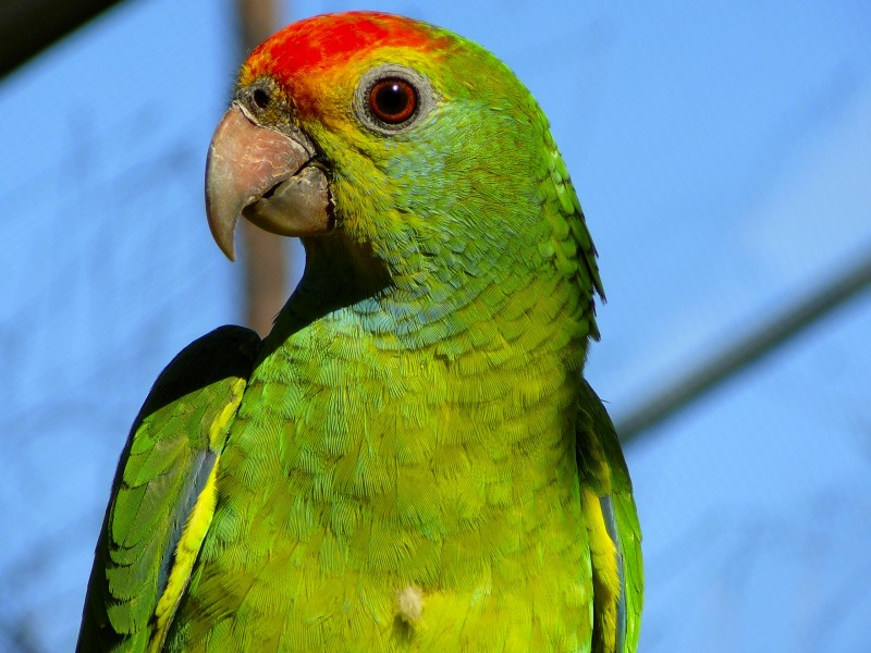 Red-browed Amazon parrot