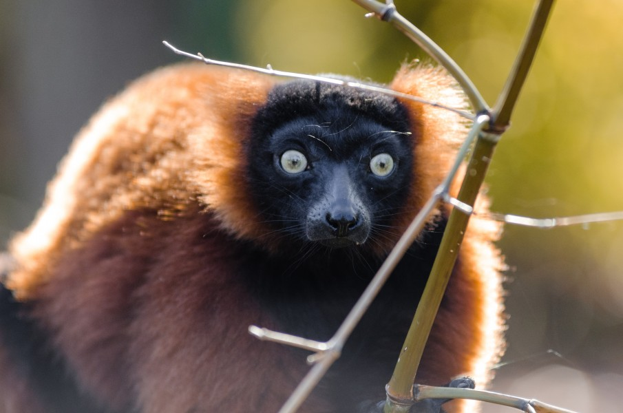 Red-ruffed Lemur (15004278343)