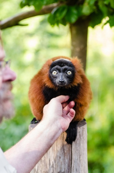 Red Ruffed Lemur (21868294475)