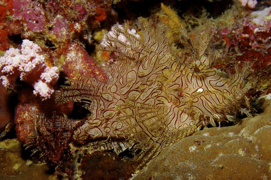 Rhinopias aphanes Lacy scorpionfish PNG by Nick Hobgood