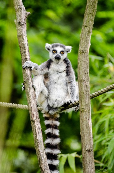 Ring-Tailed Lemur (19869649886)