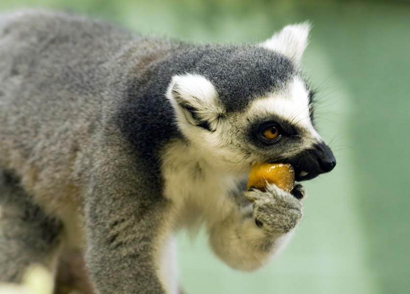 Ring-Tailed Lemur eating