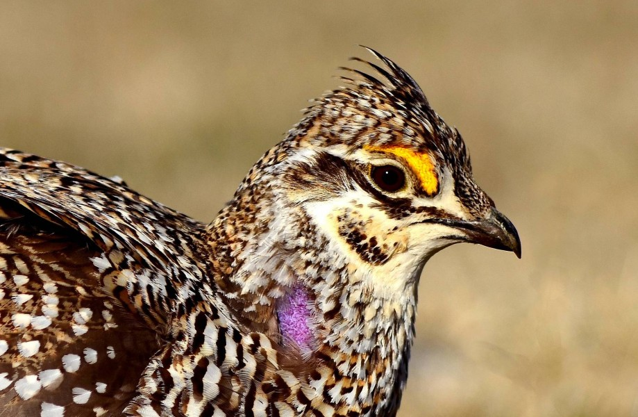 Sharp-Tailed Grouse (25759427000)