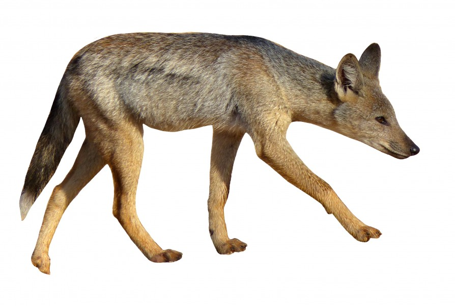 Side-striped Jackal (Canis adustus)- white background