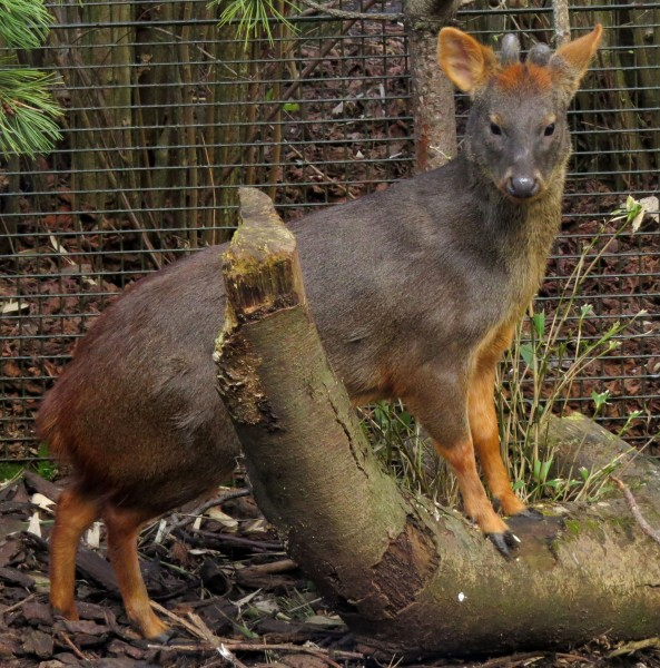 Southern Pudu, Edinburgh Zoo