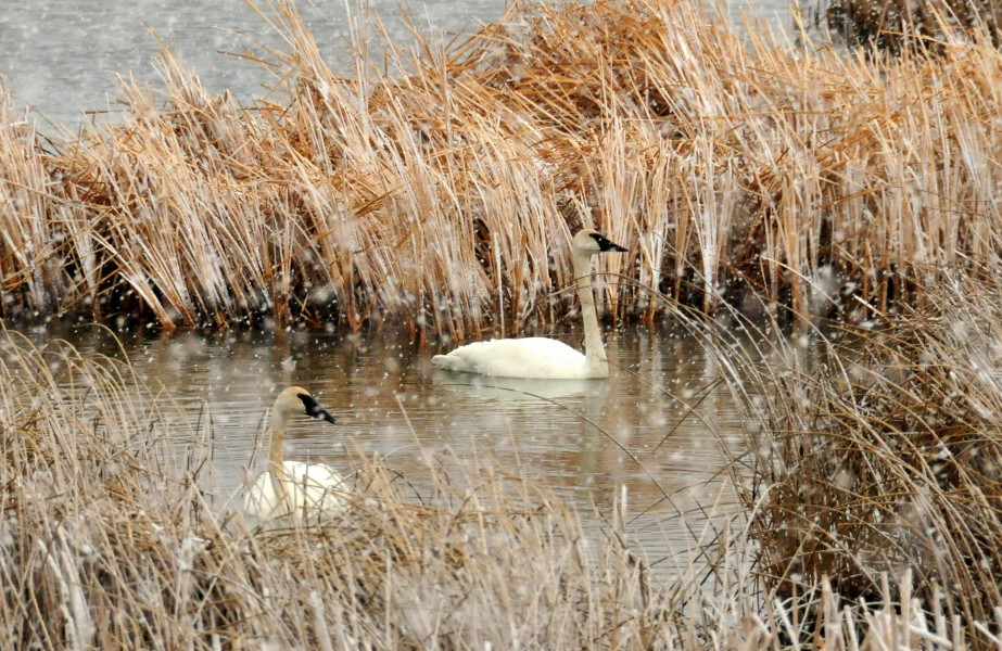 Trumpeter Swans in a Snow Squall on Seedskadee NWR (23727044306)