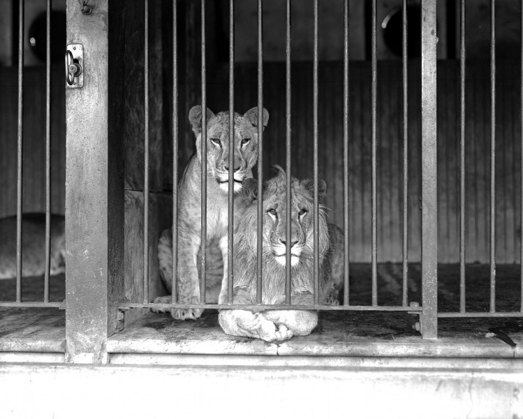 Two caged lions at the Los Angeles Zoo, ca.1920 (CHS-9745)