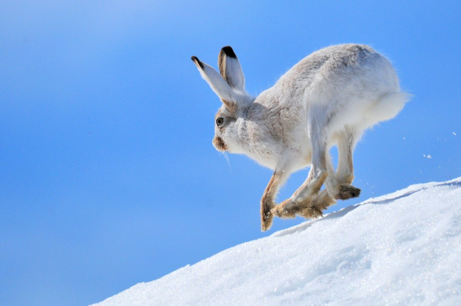 White-Tailed Jackrabbit on Seedskadee National Wildlife Refuge (25795217461)