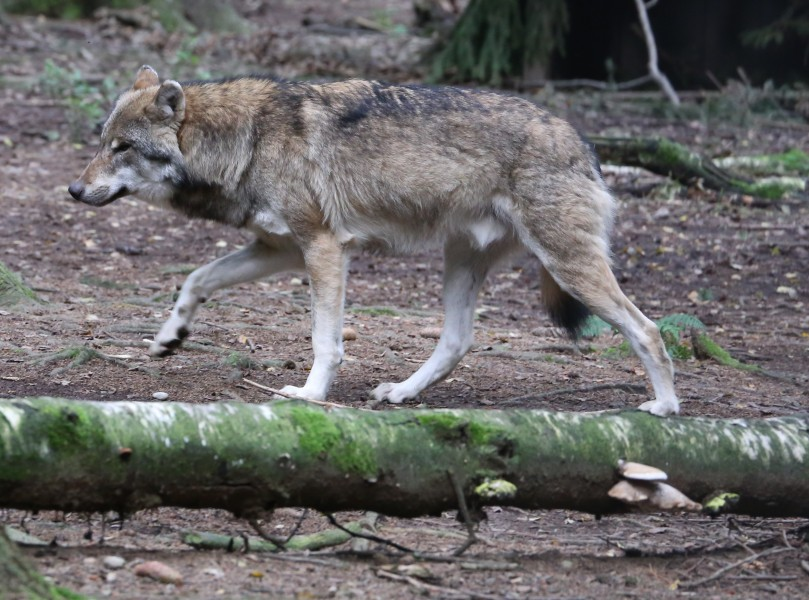 Wolf Canis lupus Wildpark Poing-06