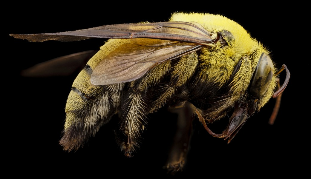 Xylocopa india yellow, m, india, angle 2014-08-10-10.55.37 ZS PMax (15163957281)