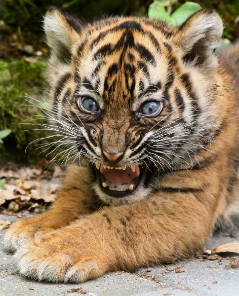Young tiger cub at Burgers' Zoo Arnhem