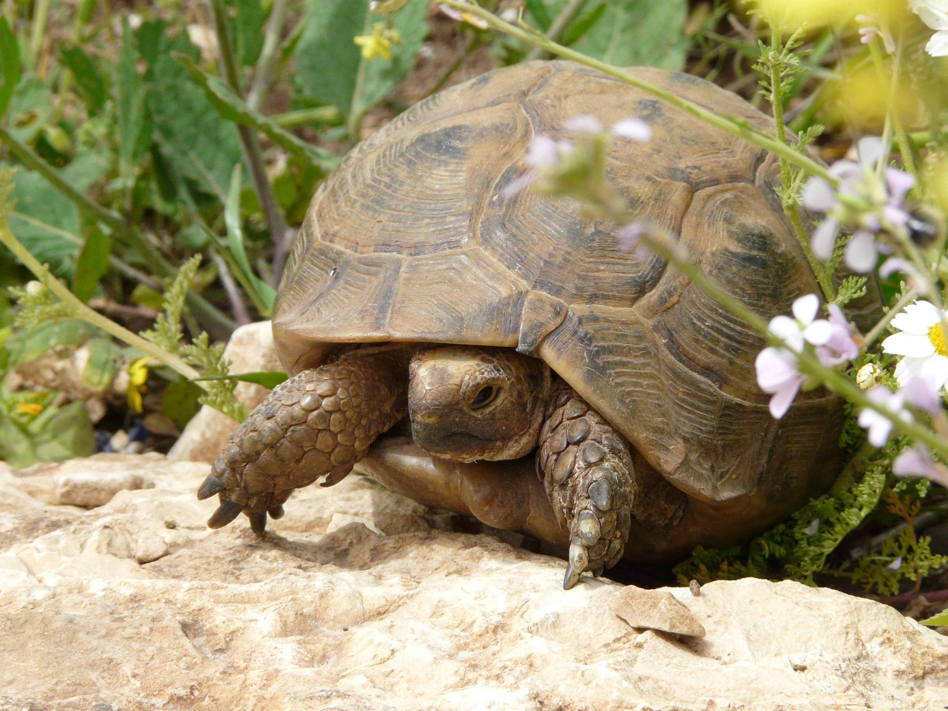 Spur-thighed Tortoise (6925398916)