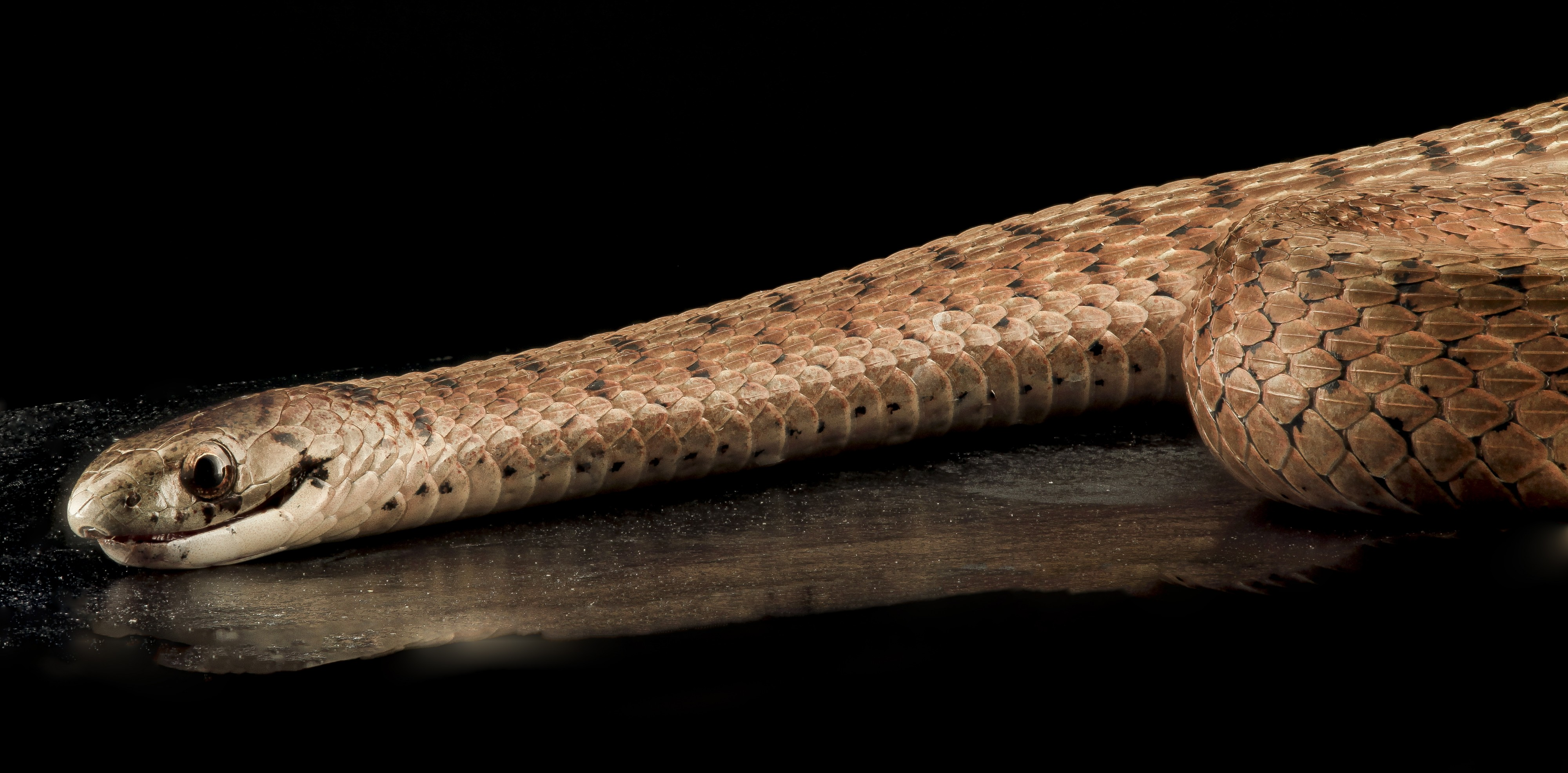 Brown Snake, U, Side, MD, PG County 2013-08-05-17.08.10 ZS PMax (9446047311)