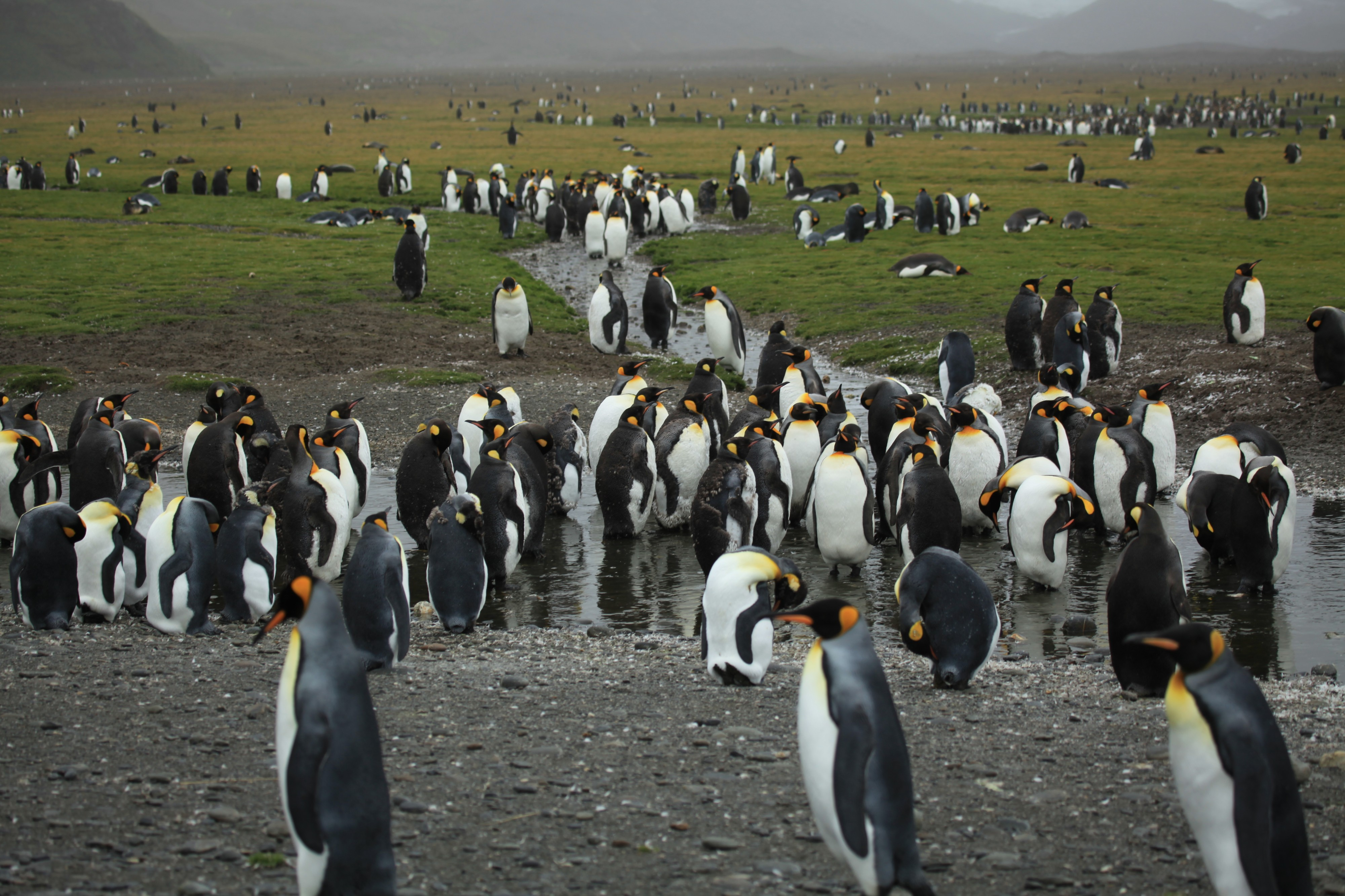 King Penguins moulting at Salisbury Plain (5724618446)