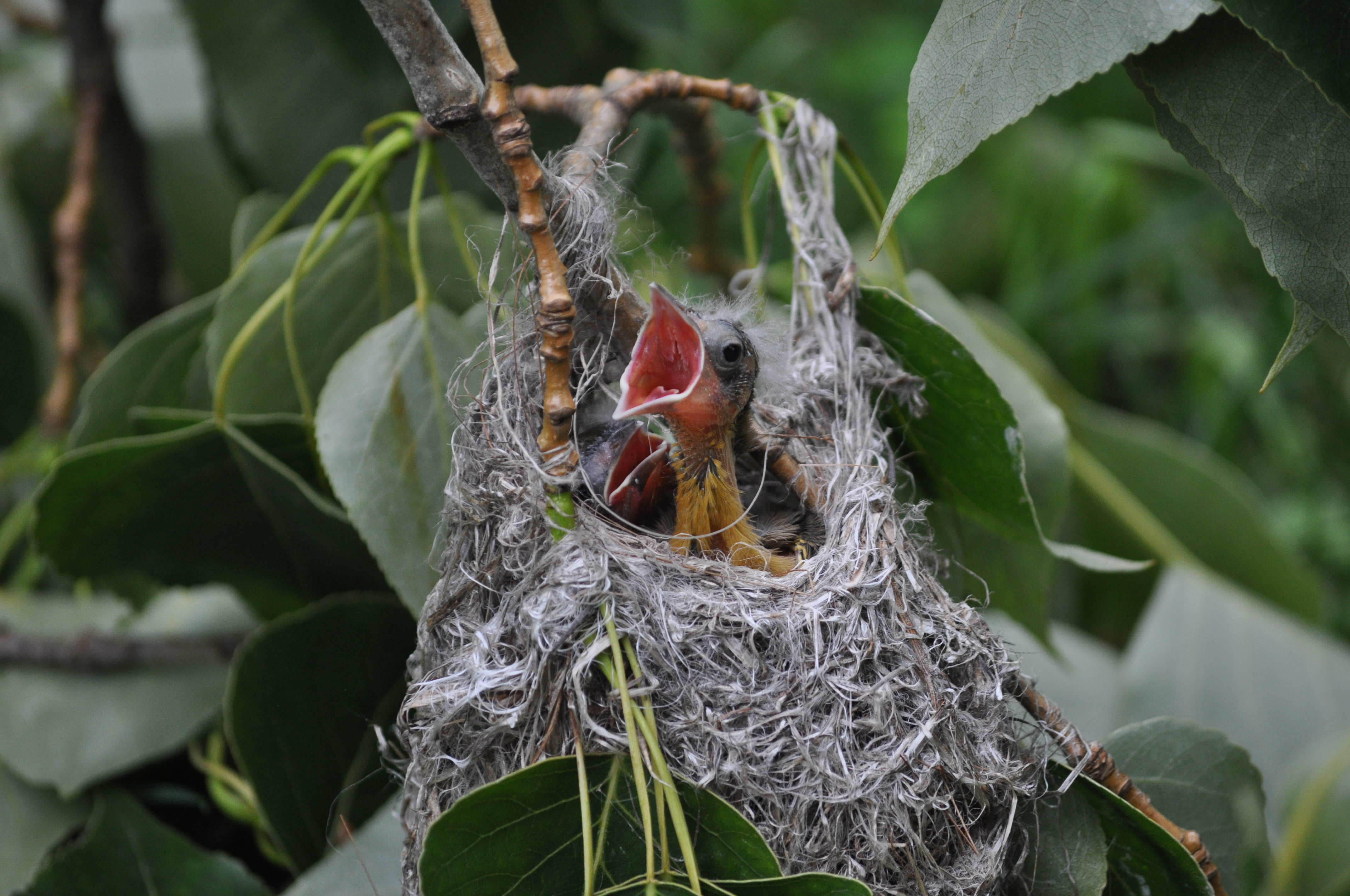 Baltimore Oriole chicks in NY