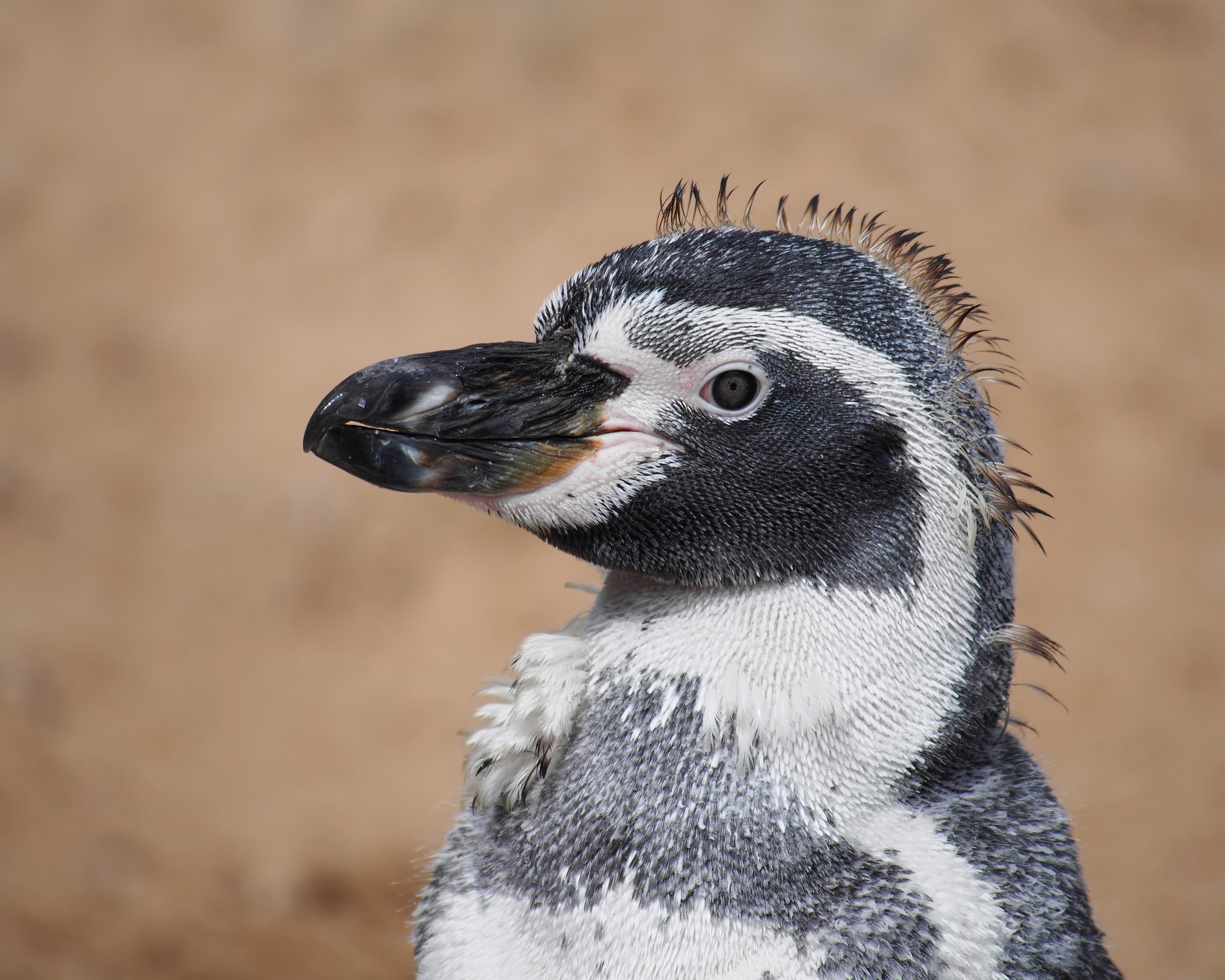 Humboldt penguin during moult