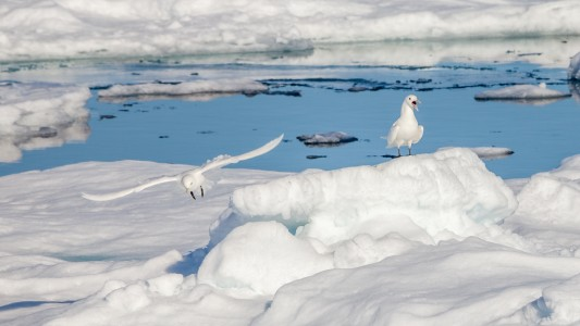 Two Ivory gulls in the drift ice of the arctic