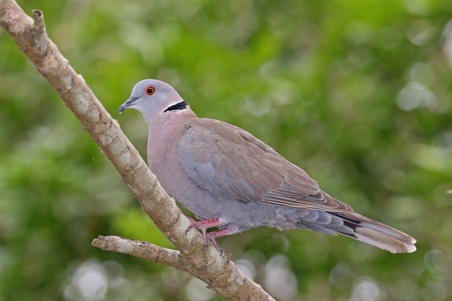 African mourning dove (Streptopelia decipiens shelleyi)
