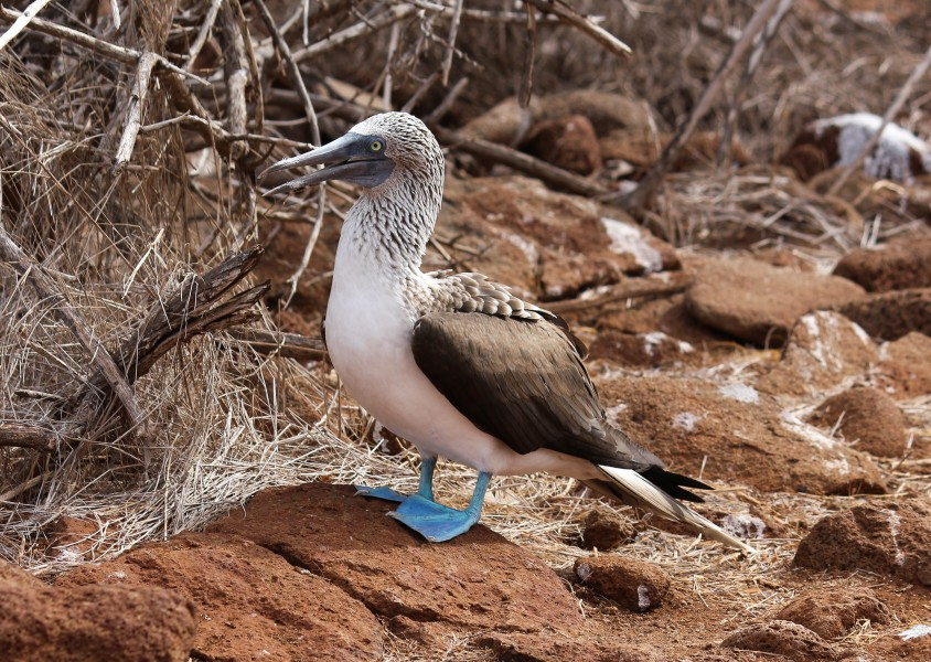 Blue-footed booby 01