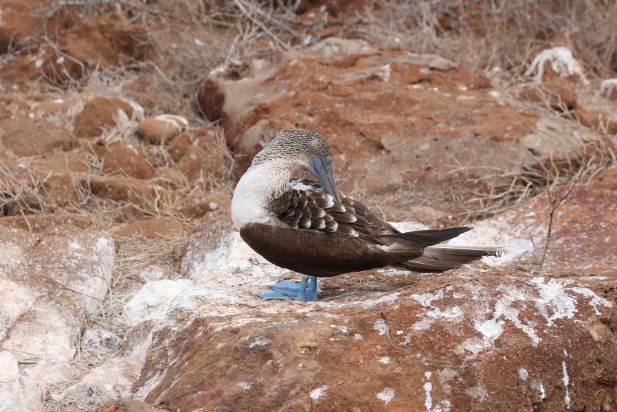 Blue-footed booby 02