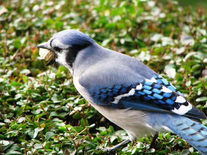 Bluejay with a peanut