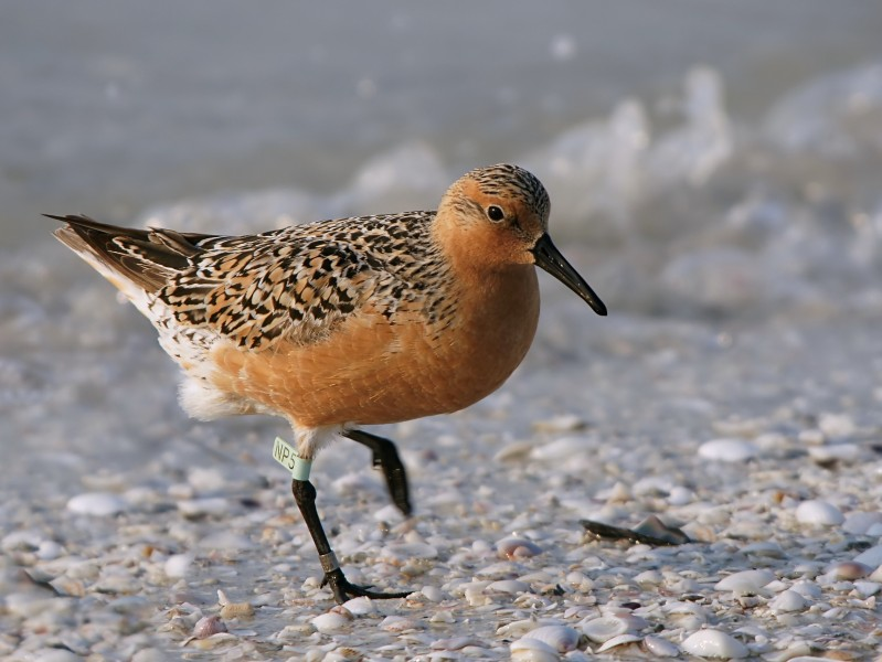 Calidris canutus (summer)