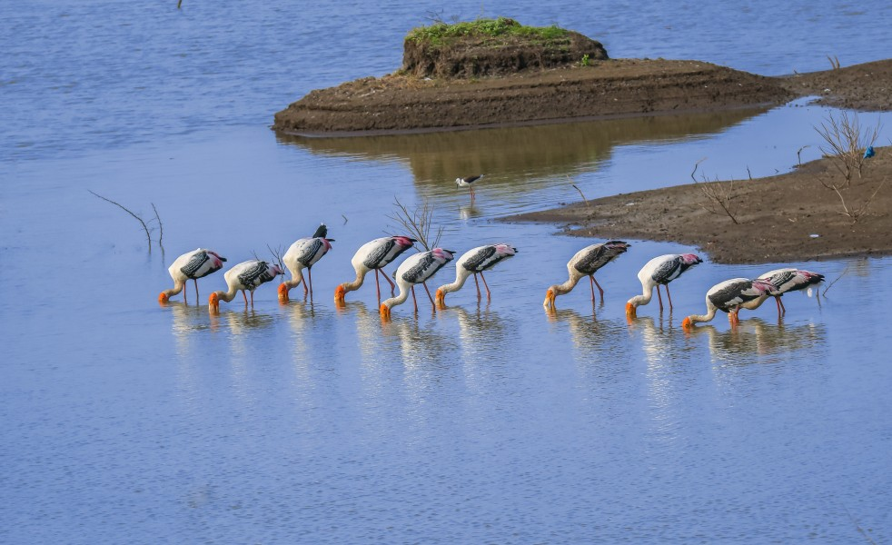 Colony of painted stork
