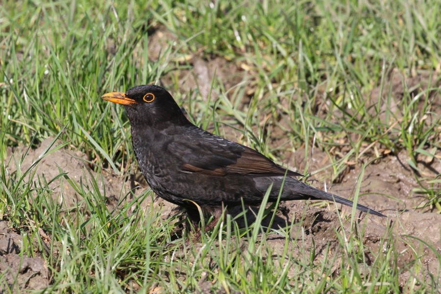 Common blackbird (Turdus merula) male, young adult