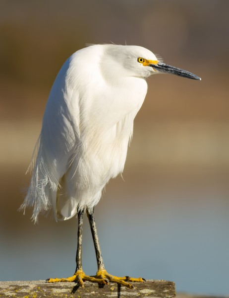 Egretta thula at Las Gallinas Wildlife Ponds
