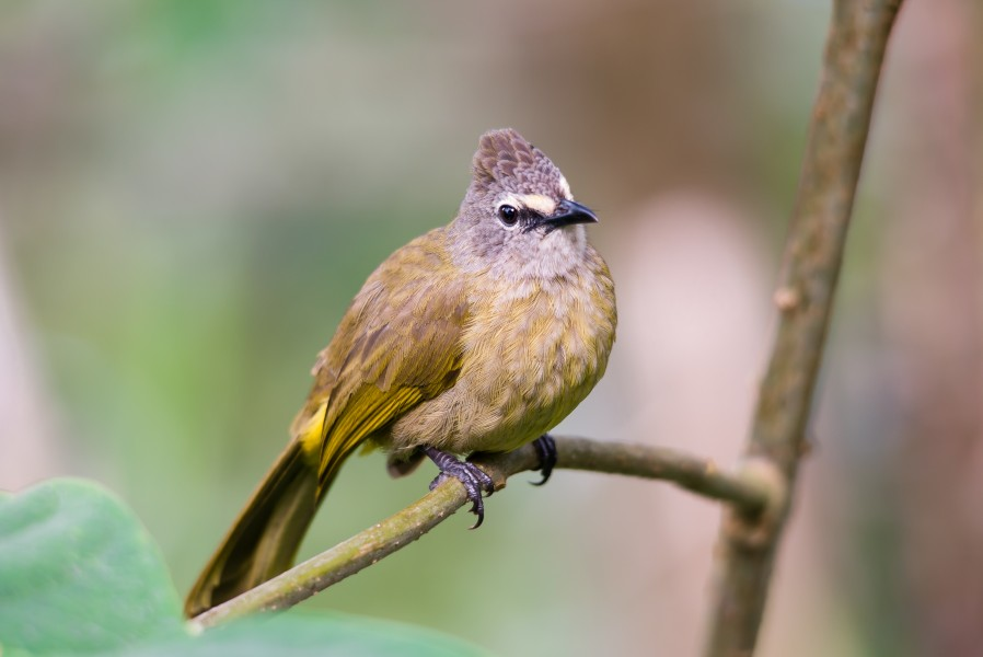 Flavescent bulbul, pycnonotus flavescens