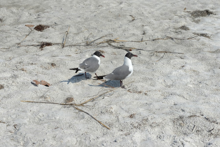 Florida seagulls beach Longboat Key