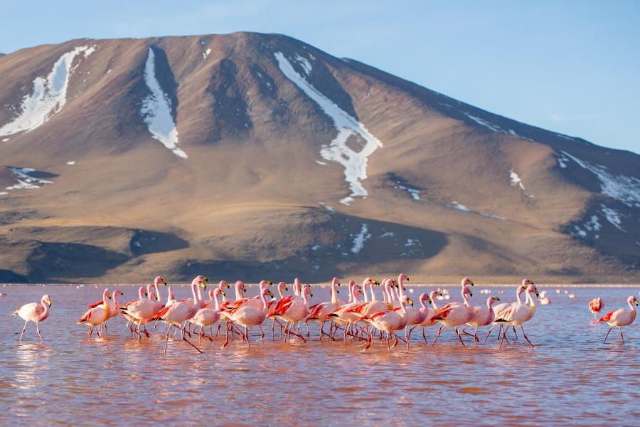 James's Flamingoes in Laguna Colorada, Bolivia