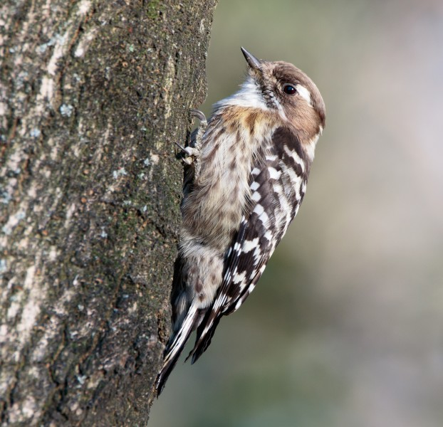 Japanese pygmy woodpecker in Sakai, Osaka, February 2016