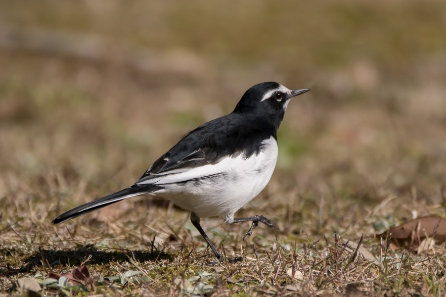 Japanese wagtail in Suita, Osaka, December 2016 - 205