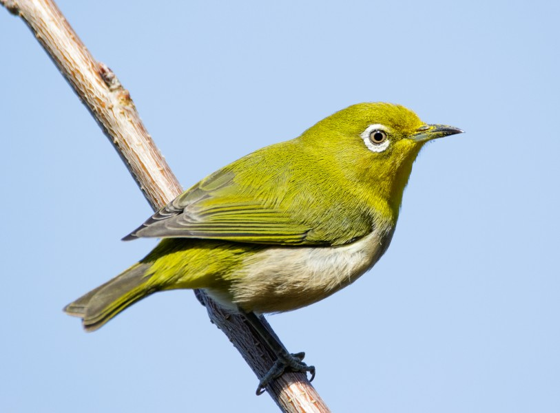 Japanese white-eye at Tennōji Park in Osaka, January 2016 II