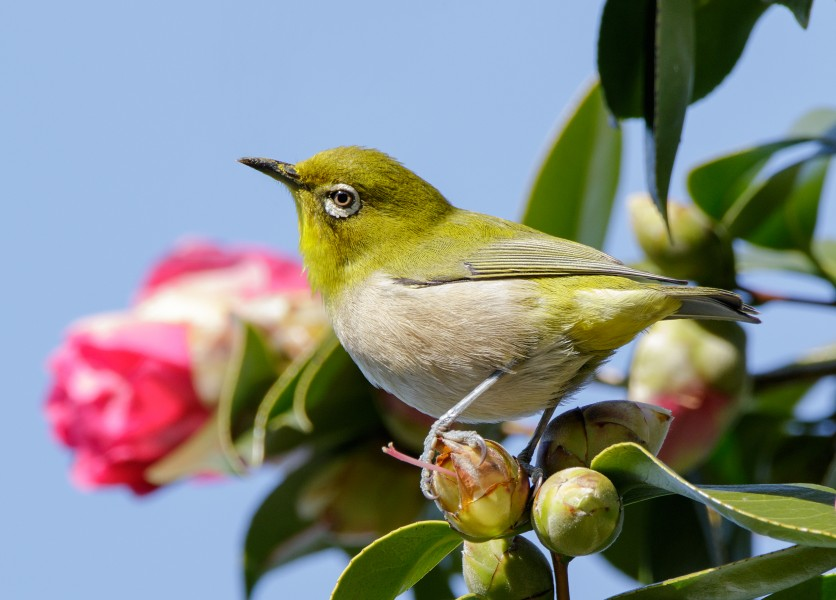 Japanese white-eye at Tennōji Park in Osaka, January 2016 III