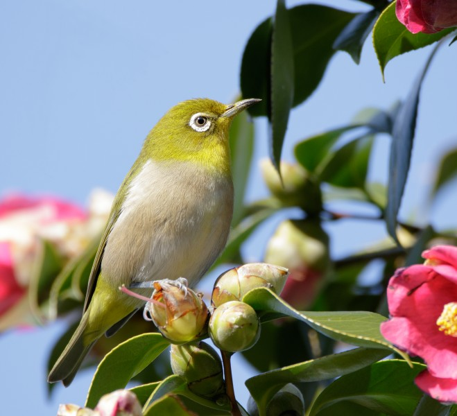 Japanese white-eye at Tennōji Park in Osaka, January 2016 IV